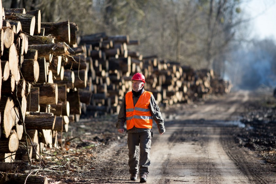 Mature engineer walking beside stack logs in forest. Lumber industry and deforestation concept Bild: stock.adobe.com